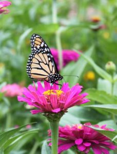 monarch checking out a zinnia