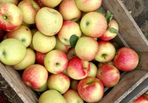 A bumper crop of apples and fun
